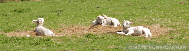 Hadrian's Wall Sheeplets