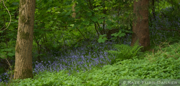 Bluebells on Abbey Craig