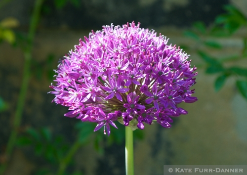 St Cuthbert Allium