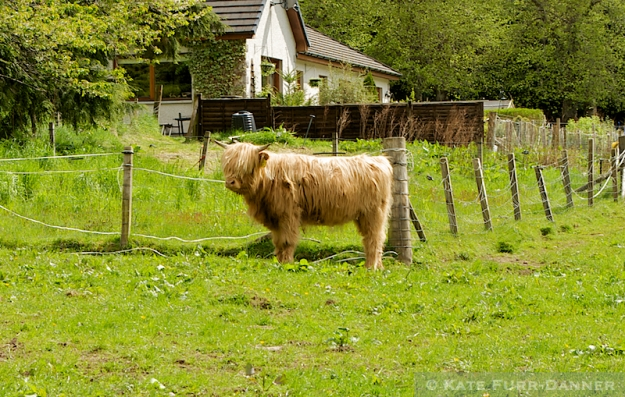 White Highland Cow