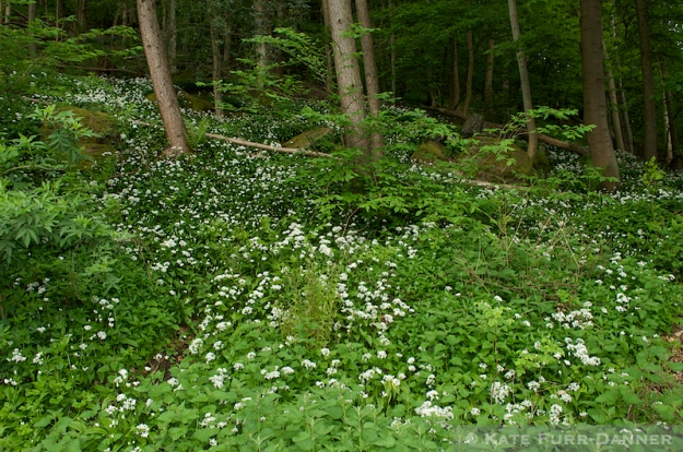 Wild Garlic on Abbey Craig