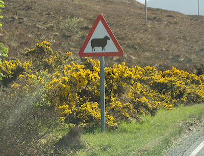 Caution Sheep