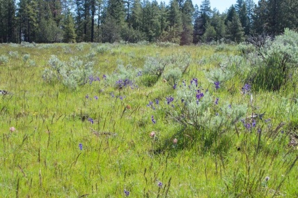Wild Irises and Possibly Red Lupine